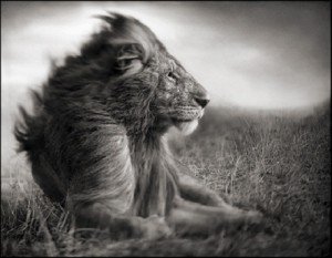 Lion_Before_Storm_II-_Sitting_Profile